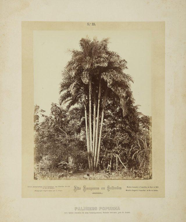"""""""Pupunha sem espinhos"""", que Frisch diz ser rara, """"desconhecida botanicamente por nós"""". Alto Amazonas ou Solimões, Amazônia, 1867-68. Imagem publicada pela Casa Leuzinger em 1869, no conjunto <em>Resultado de uma expedição fotográfica pelo Solimões ou Alto Amazonas e pelo rio Negro</em>. Fotografia de Albert Frisch / Acervo IMS"""