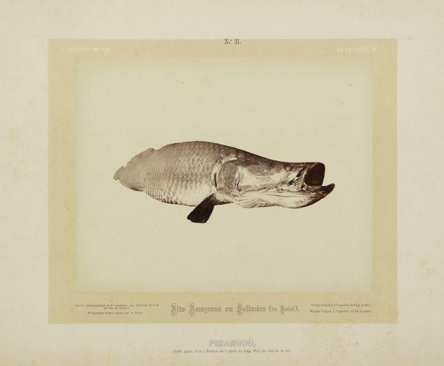 O pirarucu, um dos peixes fotografados por Frisch no Amazonas. Alto Amazonas ou Solimões, Amazônia, 1867-68. Imagem publicada pela Casa Leuzinger em 1869, no conjunto <em>Resultado de uma expedição fotográfica pelo baixo Solimões ou Alto Amazonas e pelo rio Negro</em>. Fotografia de Albert Frisch / Acervo IMS